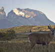 Fauna Torres del Paine
