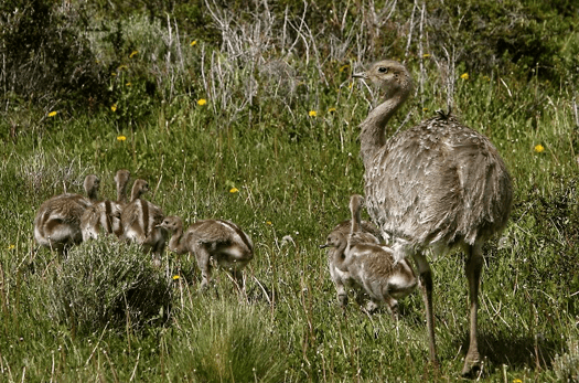 Ñandú Torres del Paine