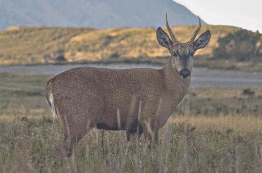 Ciervo en peligro de extinción