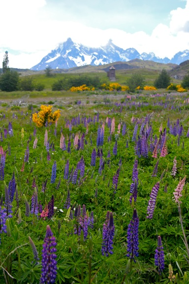 lupine-introduced