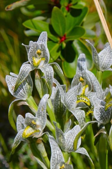 porcelain-or-mosaic-orchid